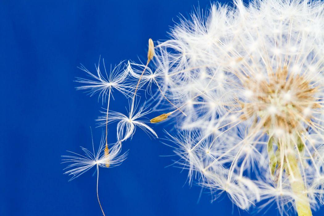 dandelion close up seeds plants wallpaper