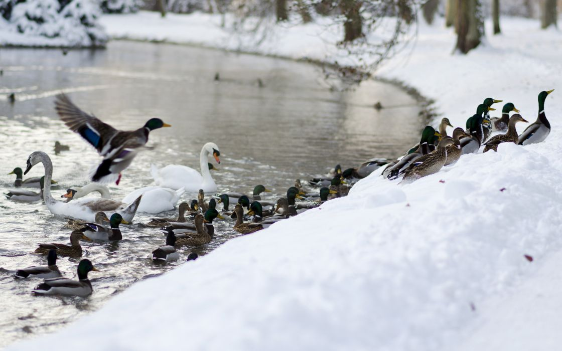 ducks swan landscapes wildlife winter snow rivers wallpaper