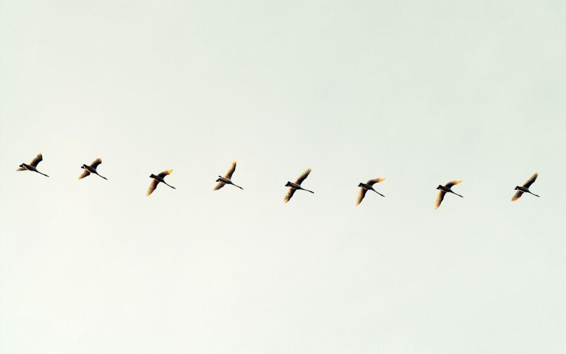 flock flight migration wings wildlife wallpaper