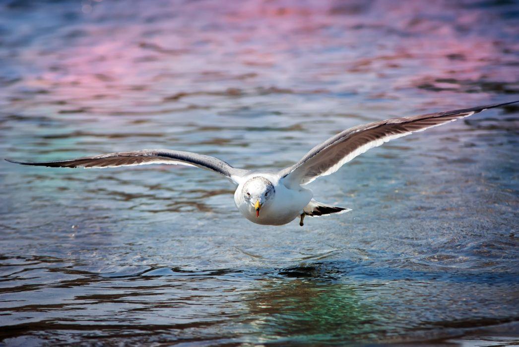 seagull gull animals birds wildlife nature flight water wallpaper