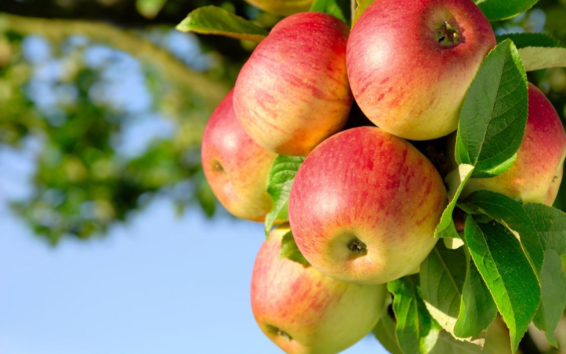 fruit apple trees orchard nature wallpaper