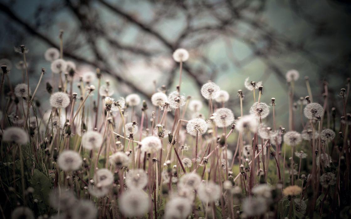 plants dandelions nature seeds macro wallpaper