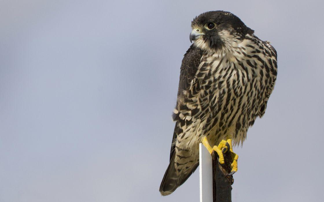 animal birds raptor predator falcon eyes pov wallpaper