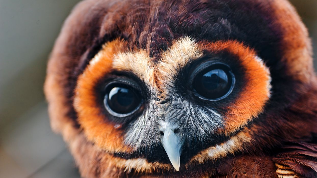 beak animals birds raptor predator face eyes pov owls wallpaper