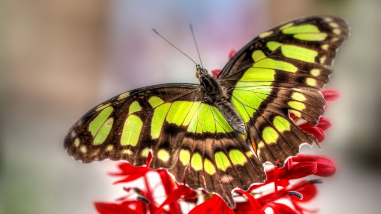 butterfly macro close-up wings wildlife color wallpaper