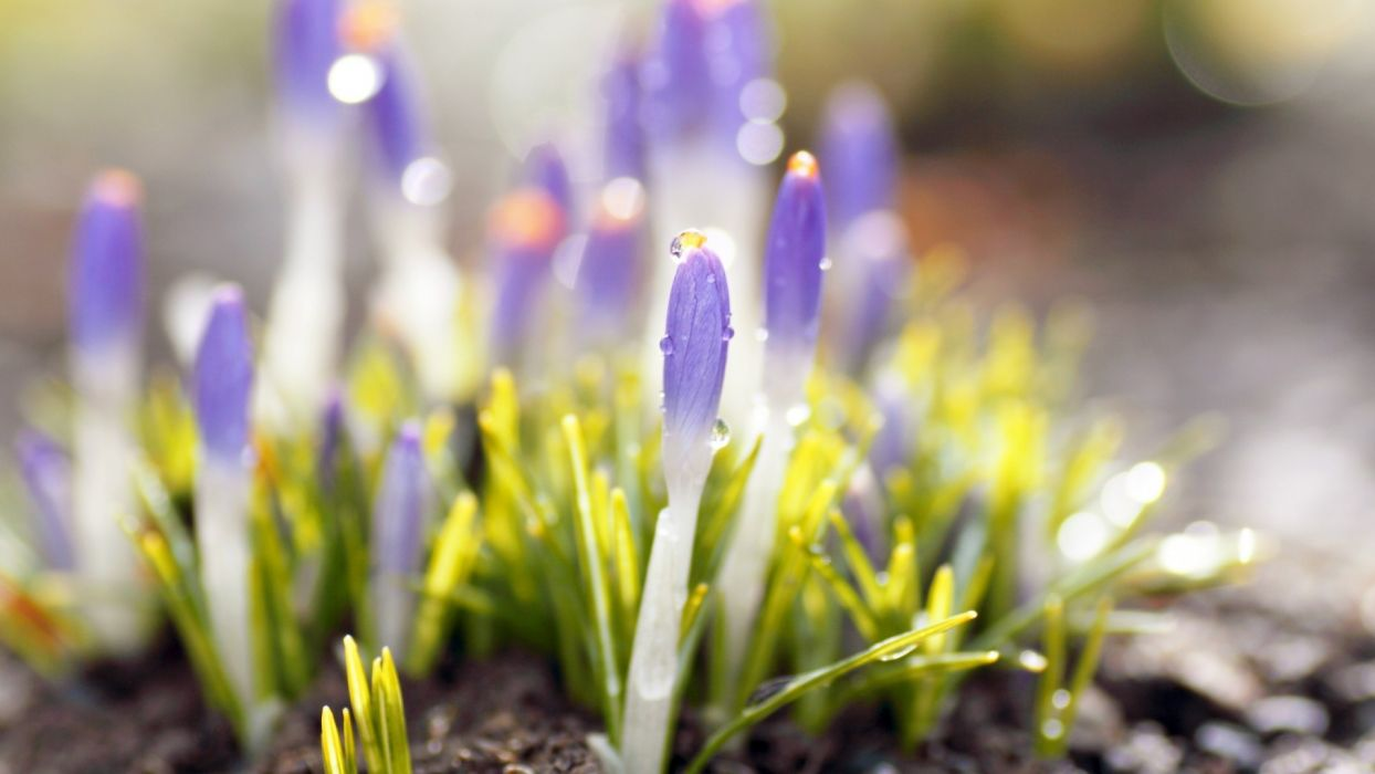 crocuses flowers macro drops plants close-up wallpaper