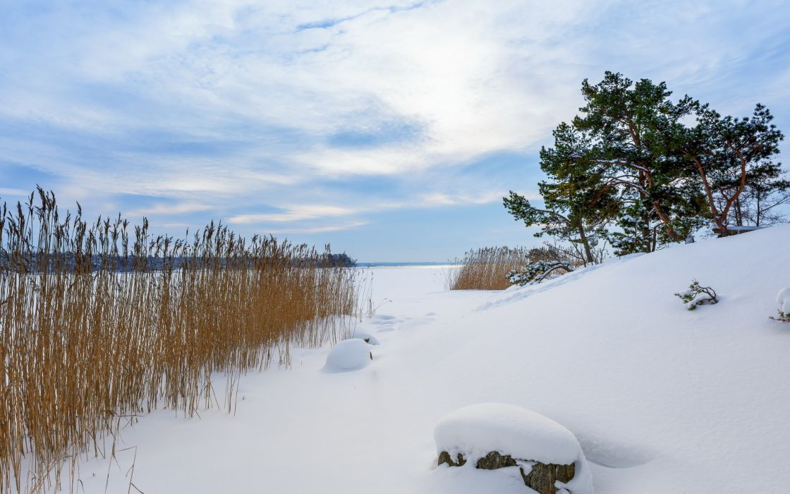 reeds grass plants winter snow nature landscapes trees sky wallpaper