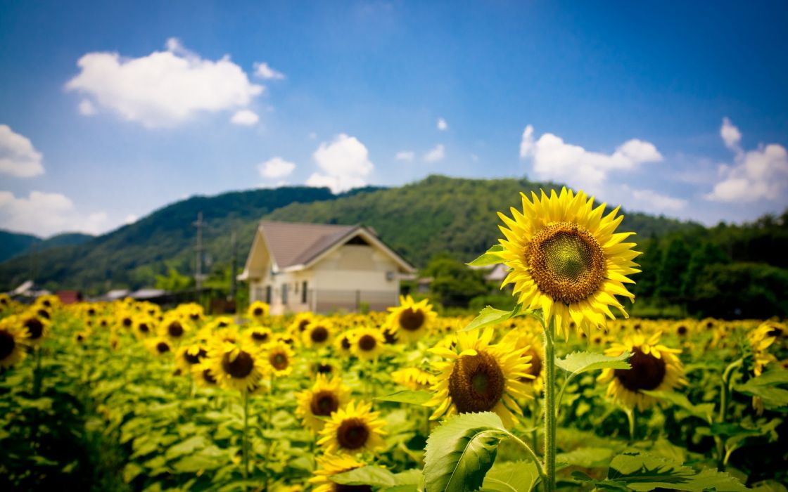 sunflowers summer field nature landscapes hills house buildings architecture flower yellow wallpaper