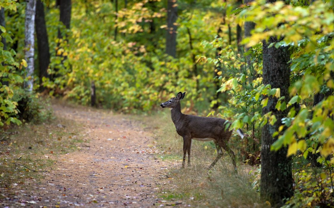 trail path trees forest woods leaves nature landscapes deer wildlife wallpaper