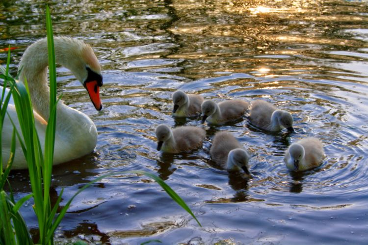 swans birds animals babies cute mother reflection lakes pond grass wildlife nature wallpaper