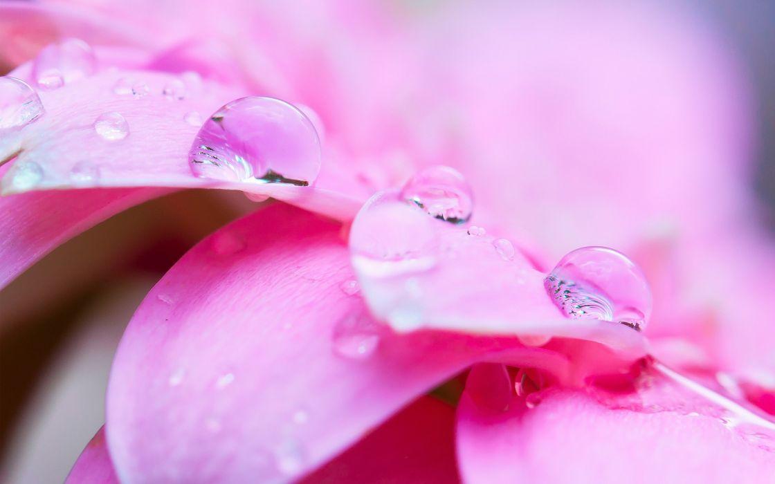 dew drops flowers petals macro close-up wallpaper