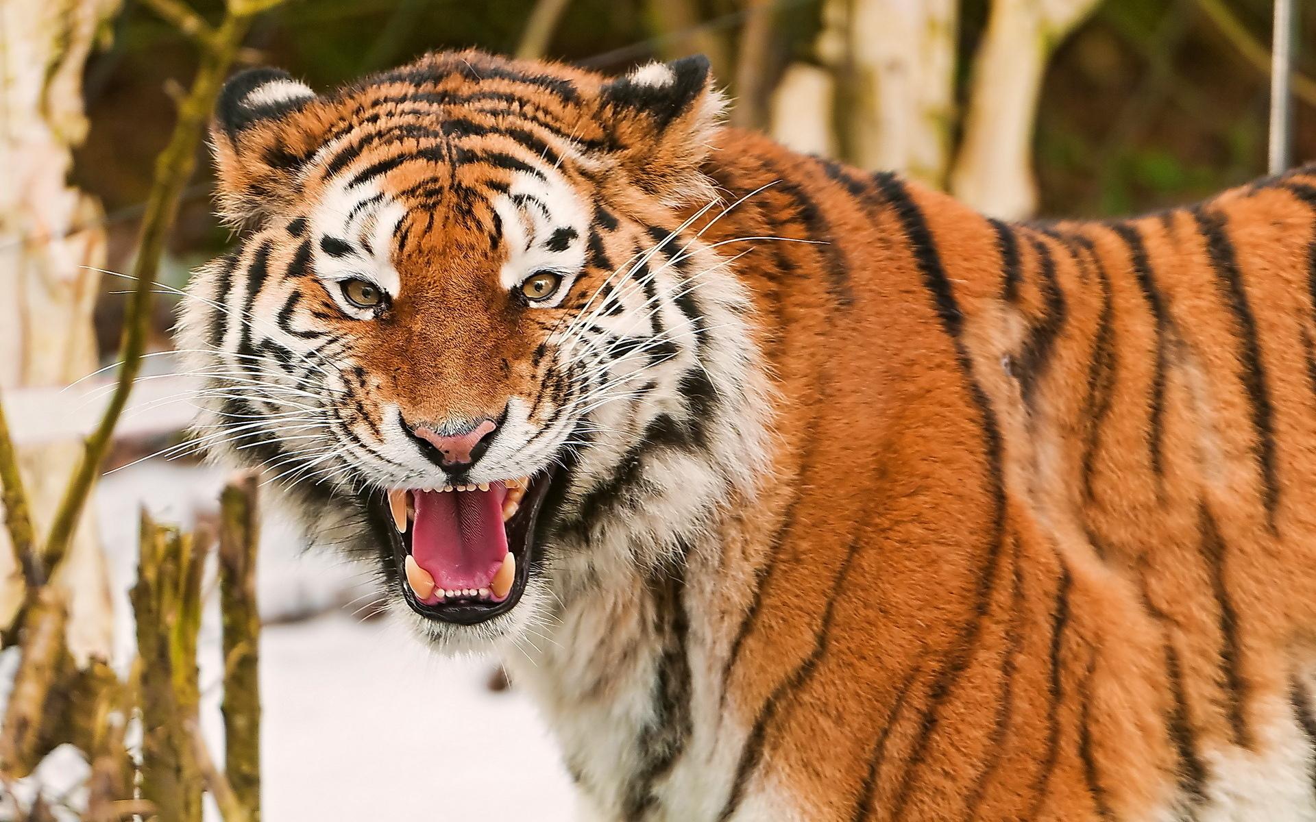 Roar animals cats tiger face eyes pov pattern stripes ...
