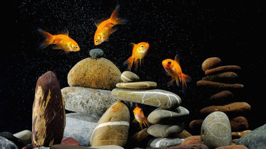 aquarium goldfish stones wallpaper