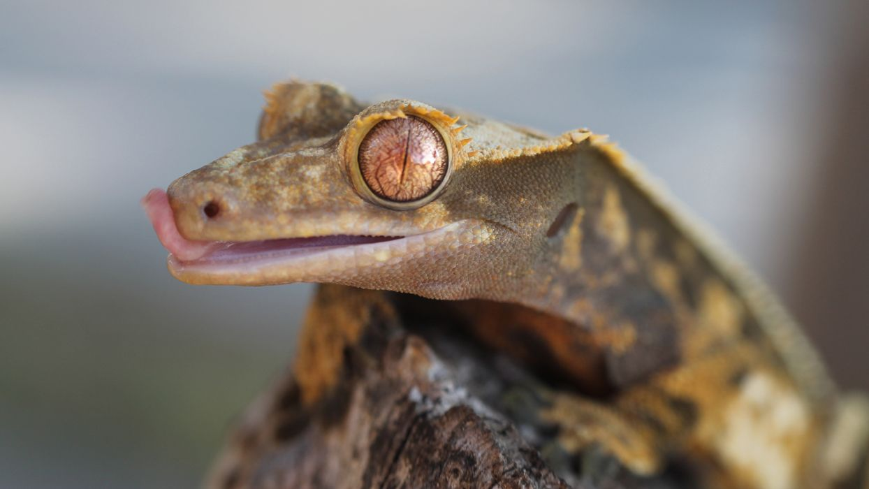 Lizard Macro Gecko wallpaper