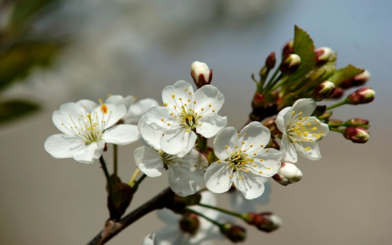 leaves white flowers buds cherry blossoms wallpaper