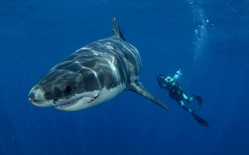 Shark Great White Diver Underwater Ocean wallpaper