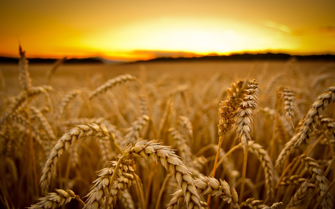 Wheat Sunset macro wallpaper