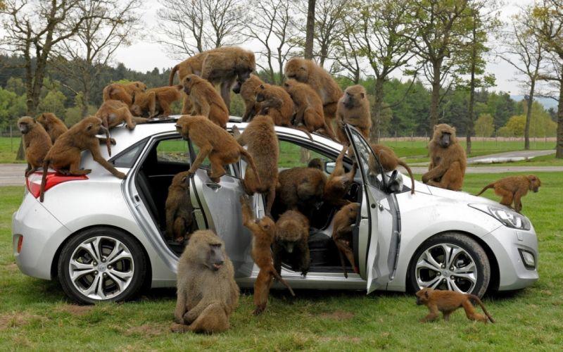trees baboons car monkey humor wallpaper