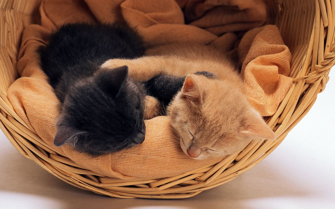 kittens cats babies wallpaper