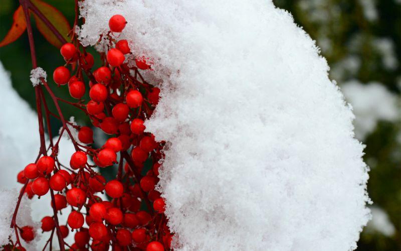 berries winter snow trees wallpaper