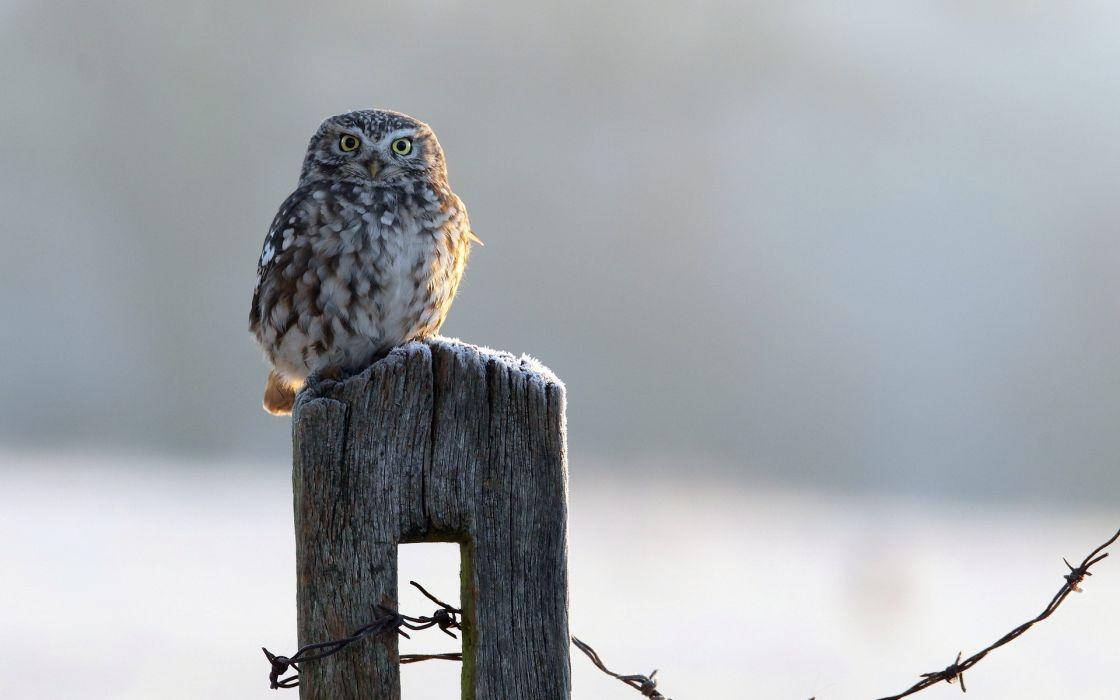 bird  owl  fence winter wallpaper
