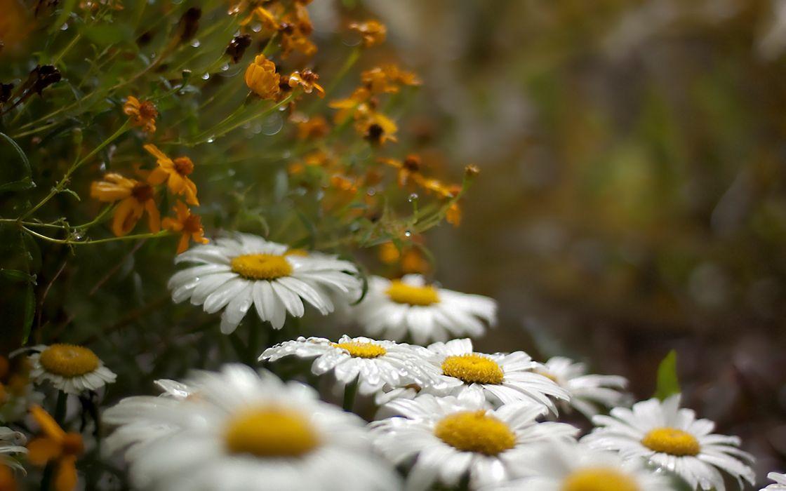 drops flowers rain wallpaper