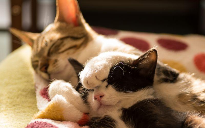 Cat Sleep Kitten wallpaper