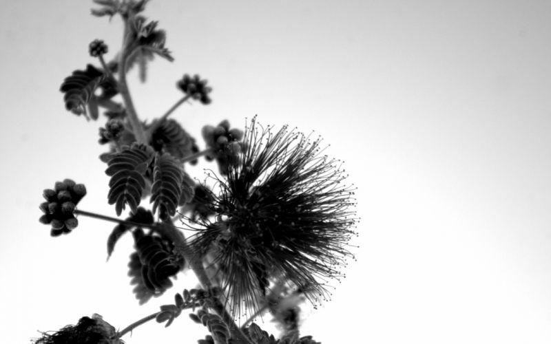 flowers monochrome macro contrast wallpaper