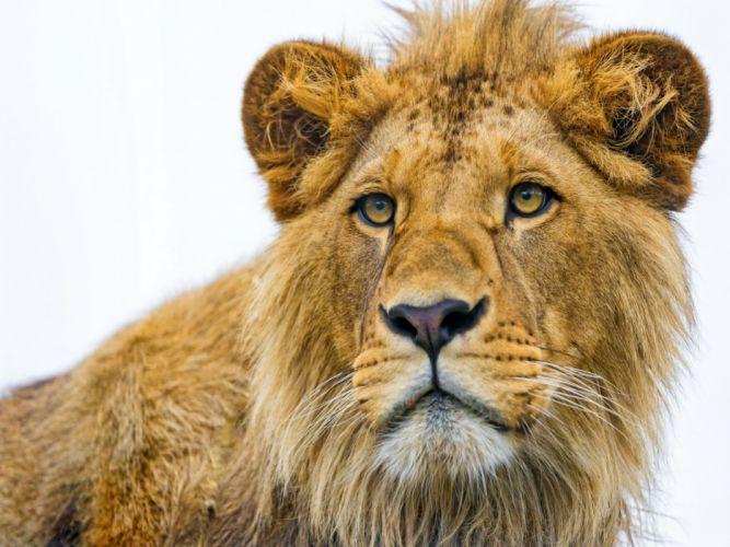 lion eyes wallpaper