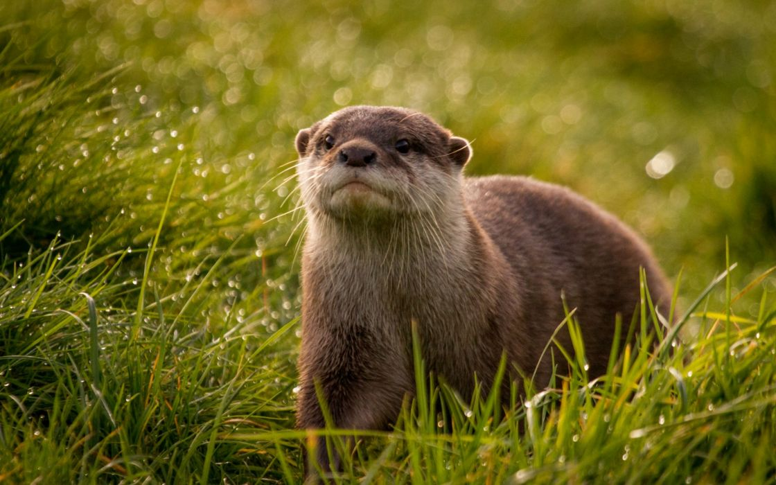 Otter muzzle eyes grass dew droplets reflections drops wallpaper