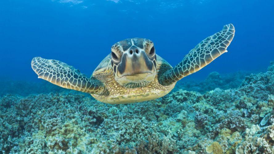 sea turtle animals wallpaper