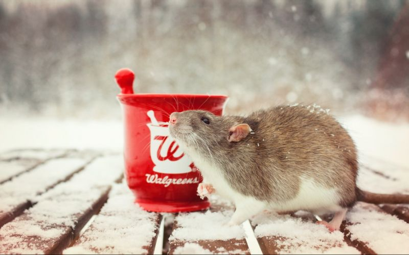 rodent rats winter snow cup wallpaper