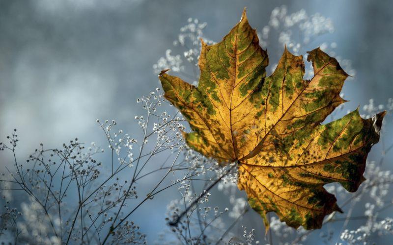 autumn dry grass leaves maple flowers macro wallpaper