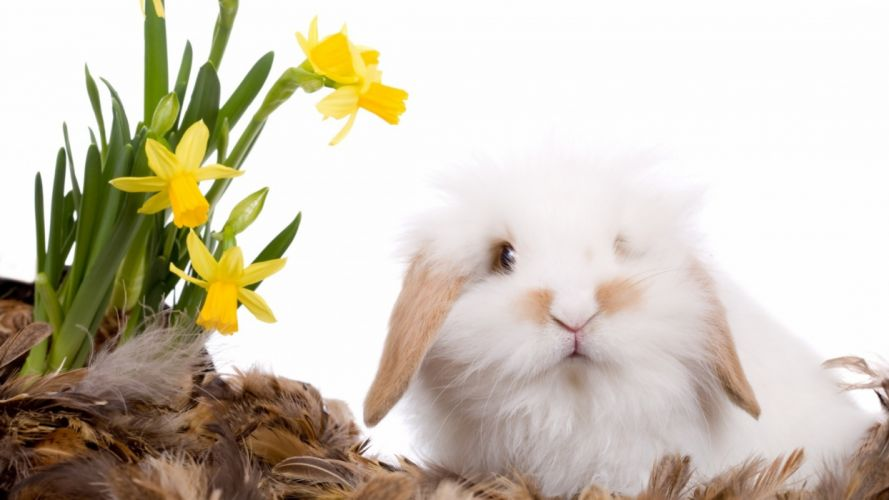 feathers rabbit daffodil flowers wallpaper