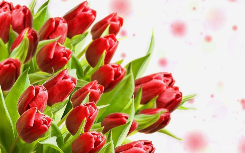 tulips buds flower leaves wallpaper