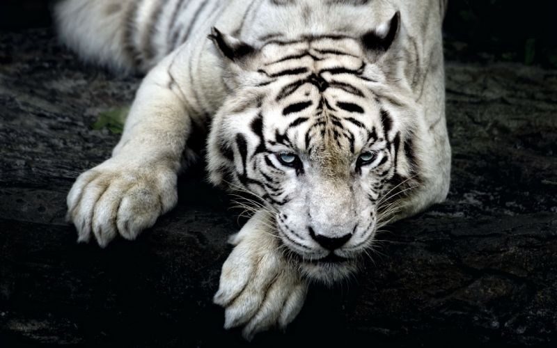 Big cats Tigers White Glance Snout Paws Animals wallpaper