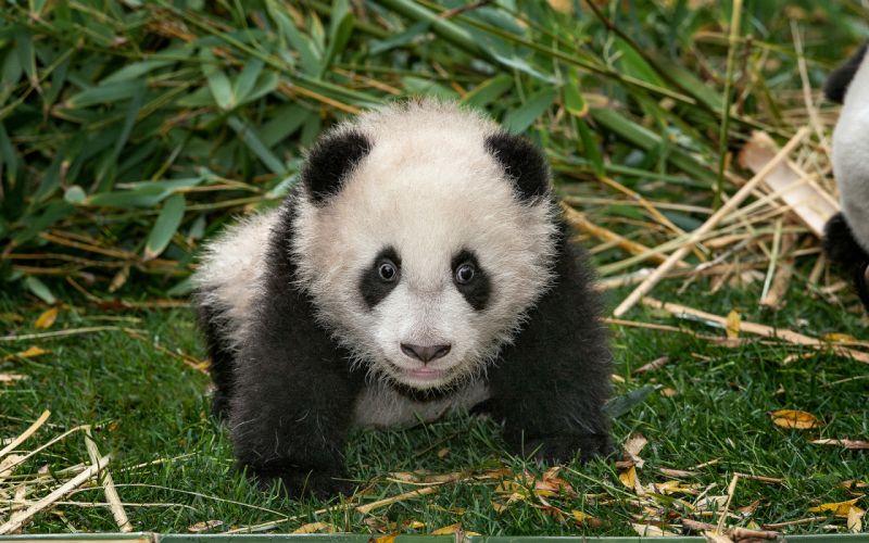 babies cubs panda eyes wallpaper