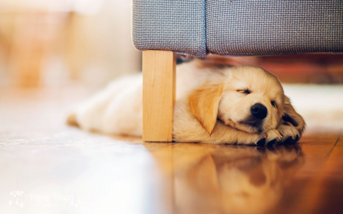 Dog Sleep Puppy Wallpaper