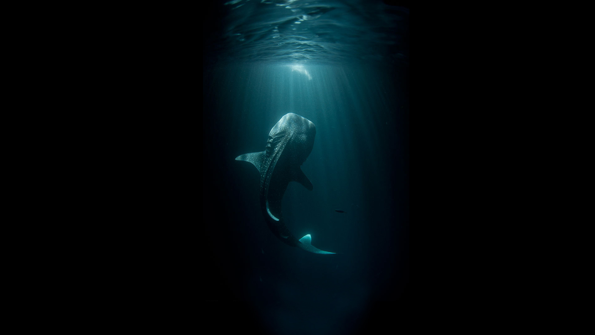 fish giant underwater ocean black shark wallpaper