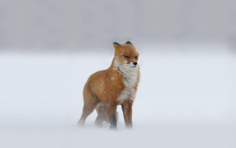 Foxes Snow Winter fox storm wallpaper