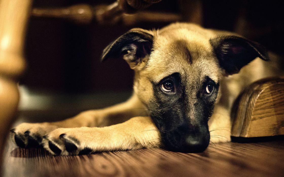 eyes dogs wallpaper