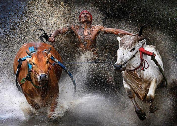 Wei-Seng-Chen animals cow bull people spalsh drops wallpaper