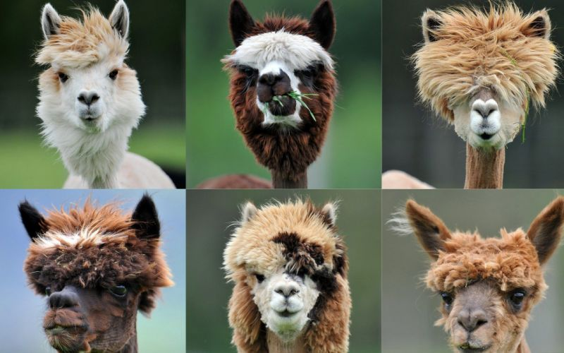animals Austria Salzburg Alpaca Ranch humor wallpaper