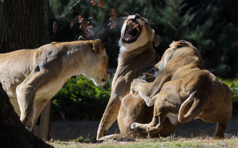 lions mood wallpaper
