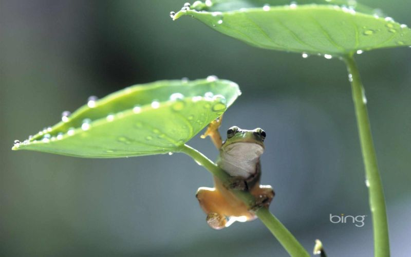 Rain Frog drops wallpaper