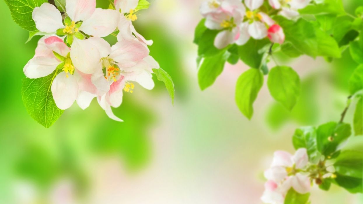 branches apples leaves flowers macro blossoms wallpaper
