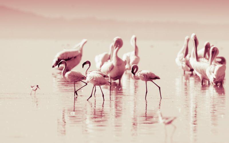 flamingo lakes reflection water pink wallpaper