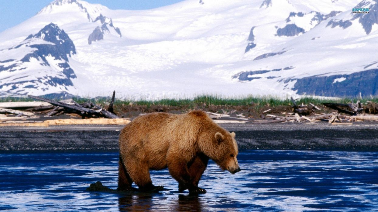 bear rivers mountains wallpaper