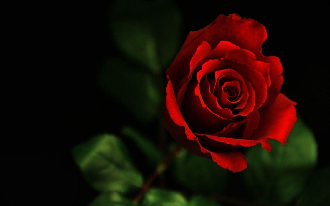 flower rose red valentine's day macro wallpaper