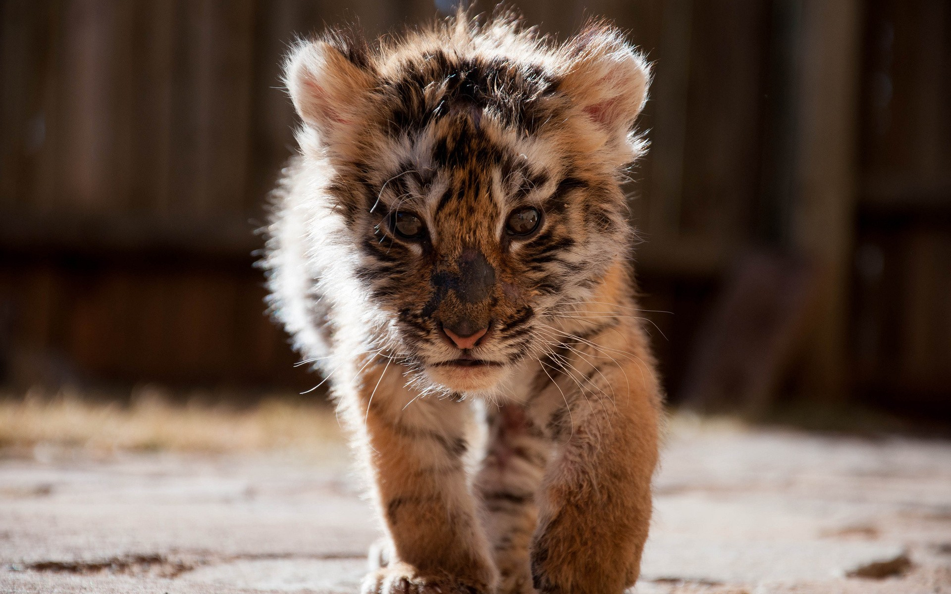 Baby tigers face - photo#9